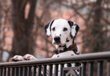 pies rodzinny